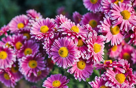 Photograph of daisy chrysanthemums