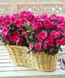 This double azalea basket is perfect to bring joy again and again with its beautiful flowers.