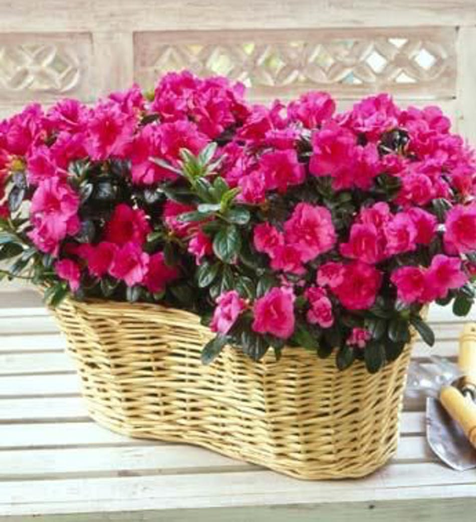 Double Azalea Basket Flowering Plants Mission Viejo Florist